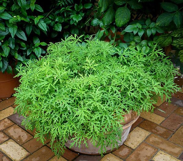 citronella-mosquito-plant-1